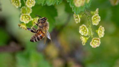 Photo of Jornal Hoje em Dia repercute pesquisa da UFV sobre efeitos de ondas eletromagnéticas na polinização das abelhas